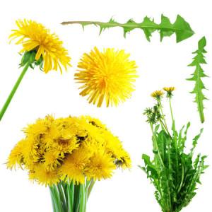1072978_pampeliska-list-lek-bylina-bylinka-rostlina