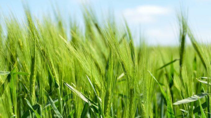 Mladý Ječmen – Superpotravina Proti Překyselení
